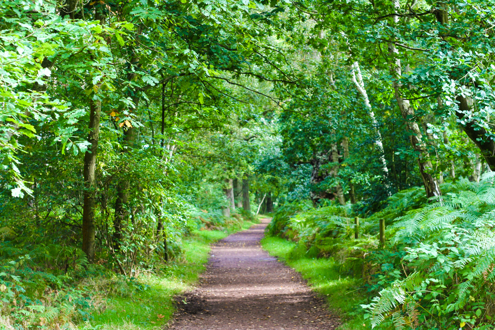 Sherwood Forest Path surrounded by lush green forest